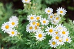 Το λουλούδι και το πράσινο υπόβαθρο φύλλων στο λουλούδι καλλιεργούν στην ηλιόλουστη ημέρα καλοκαιριού ή άνοιξης λουλούδι για τη δ Στοκ φωτογραφίες με δικαίωμα ελεύθερης χρήσης