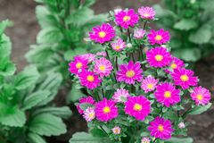 Το λουλούδι και το πράσινο υπόβαθρο φύλλων στο λουλούδι καλλιεργούν στην ηλιόλουστη ημέρα καλοκαιριού ή άνοιξης λουλούδι για τη δ Στοκ φωτογραφία με δικαίωμα ελεύθερης χρήσης