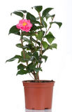 το λουλούδι καμελιών α&nu Στοκ φωτογραφίες με δικαίωμα ελεύθερης χρήσης