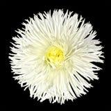 το λουλούδι κεντρικών μαργαριτών απομόνωσε άσπρο κίτρινο Στοκ Εικόνα