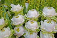 Το λουλούδι λωτού είναι ένα από τα λουλούδια ότι οι άνθρωποι είναι δημοφιλείς σε όλο τον κόσμο στοκ εικόνα με δικαίωμα ελεύθερης χρήσης