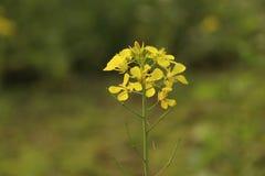 Το λουλούδι μουστάρδας εσείς πρέπει να το συμπαθήσει Στοκ Εικόνες