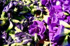 Το λουλούδι μπιζελιών πεταλούδων ξεραίνει στο καλάθι για το μίγμα με το ζεστό νερό στην κατανάλωση στοκ φωτογραφία με δικαίωμα ελεύθερης χρήσης