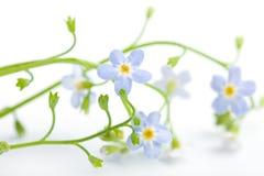 το λουλούδι ξεχνά απομο Στοκ φωτογραφίες με δικαίωμα ελεύθερης χρήσης