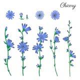 Το λουλούδι, ο οφθαλμός, το κεφάλι και τα φύλλα ραδικιού δίνουν τη συρμένη γραφική διανυσματική ζωηρόχρωμη απεικόνιση, ιατρικό φυ Στοκ φωτογραφίες με δικαίωμα ελεύθερης χρήσης