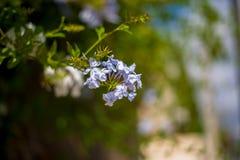 Το λουλούδι που βρίσκεται μπλε στην παραλία ibiza Στοκ Εικόνες