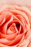 το λουλούδι ρόδινο αυξή&th Στοκ Εικόνες