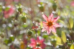 Το λουλούδι στις πτώσεις βροχής λάμπει φωτεινός όπως ένα διαμάντι στοκ εικόνες