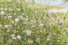 Το λουλούδι στο αεράκι πρωινού, φύση λίγου ζιζανίου σιδήρου ανθίζει, στοκ εικόνες