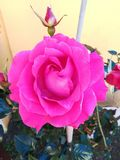 Το λουλούδι της αγάπης στοκ φωτογραφίες με δικαίωμα ελεύθερης χρήσης
