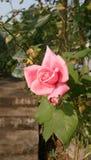 Το λουλούδι της Νίκαιας αυξήθηκε στοκ εικόνες