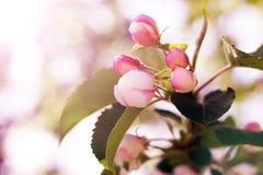 Το λουλούδι της Apple στους κλάδους την άνοιξη, σημειώνει το ρηχό βάθος του τομέα Στοκ φωτογραφία με δικαίωμα ελεύθερης χρήσης