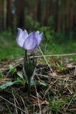 Το λουλούδι του snowdrop ανθίζει στο δάσος το ιώδες κατοικίδιο ζώο του Στοκ Φωτογραφία