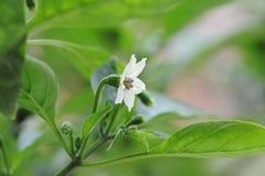 Το λουλούδι των σποροφύτων πιπεριών Στοκ φωτογραφίες με δικαίωμα ελεύθερης χρήσης