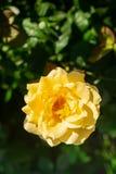 Το λουλούδι φρέσκου κίτρινου αυξήθηκε σε ένα υπόβαθρο των πράσινων φύλλων Εκλεκτική εστίαση στοκ φωτογραφίες