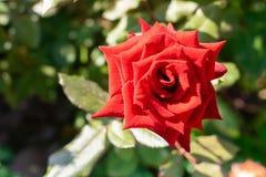 Το λουλούδι φρέσκου λατρευτού κόκκινου αυξήθηκε σε ένα υπόβαθρο των πράσινων φύλλων r r στοκ φωτογραφίες