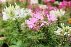 Το λουλούδι χορταριών, τσάι της Ιάβας, εγκαταστάσεις τσαγιού νεφρών, aristatus Orthosiphon δέντρων μουστακιών γατών ` s είναι ιατ Στοκ φωτογραφία με δικαίωμα ελεύθερης χρήσης