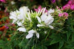 Το λουλούδι χορταριών, τσάι της Ιάβας, εγκαταστάσεις τσαγιού νεφρών, aristatus Orthosiphon δέντρων μουστακιών γατών ` s είναι ιατ Στοκ Φωτογραφίες
