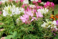 Το λουλούδι χορταριών, τσάι της Ιάβας, εγκαταστάσεις τσαγιού νεφρών, aristatus Orthosiphon δέντρων μουστακιών γατών ` s είναι ιατ Στοκ Εικόνες