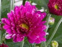 το λουλούδι χρυσάνθεμ&omega Στοκ Φωτογραφίες