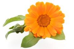 το λουλούδι calendula απομόνωσε το λευκό στοκ εικόνες