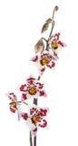 το λουλούδι cambria ανθίζει orchid o Στοκ Εικόνα