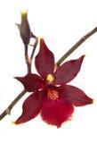 το λουλούδι cambria ανθίζει orchid o Στοκ Φωτογραφία