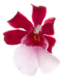 το λουλούδι cambria ανθίζει orchid o Στοκ Εικόνες