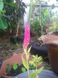 Το λουλούδι cockscomb αρχίζει την άνθιση στοκ εικόνα με δικαίωμα ελεύθερης χρήσης