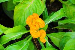 το λουλούδι cockscomb το κίτρινο ή argentea Celosia όμορφο μέσα Στοκ Εικόνες
