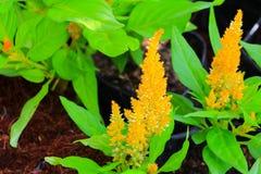 το λουλούδι cockscomb το κίτρινο ή argentea Celosia όμορφο στον κήπο Στοκ Φωτογραφίες