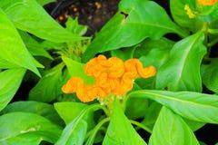 το λουλούδι cockscomb το κίτρινο ή argentea Celosia όμορφο στον κήπο Στοκ εικόνες με δικαίωμα ελεύθερης χρήσης