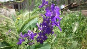 Το λουλούδι Consolida Στοκ φωτογραφία με δικαίωμα ελεύθερης χρήσης