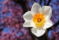 Το λουλούδι Daffodil με το κεράσι ανθίζει υπόβαθρο στοκ φωτογραφία