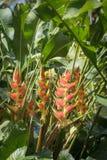 Το λουλούδι Heliconia, ανθίζει όμορφες τροπικές εγκαταστάσεις Στοκ Εικόνα