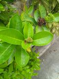 Το λουλούδι Ixora βλαστάνει ακόμα στοκ εικόνα με δικαίωμα ελεύθερης χρήσης