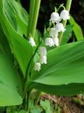 Το λουλούδι Lilly της κοιλάδας με τα πράσινα φύλλα, κλείνει επάνω στοκ φωτογραφία με δικαίωμα ελεύθερης χρήσης