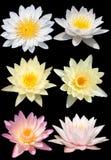 Το λουλούδι Lotus απομονώνει στοκ εικόνα