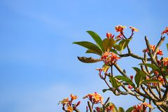 το λουλούδι plumeria κίτρινο ή η έρημος αυξήθηκε όμορφος στο δέντρο και τον ουρανό Στοκ φωτογραφία με δικαίωμα ελεύθερης χρήσης