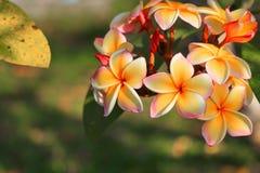 το λουλούδι plumeria κίτρινο ή η έρημος αυξήθηκε όμορφος στο δέντρο (Commo Στοκ Εικόνα