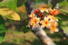 το λουλούδι plumeria κίτρινο ή η έρημος αυξήθηκε όμορφος στο δέντρο (Commo Στοκ εικόνες με δικαίωμα ελεύθερης χρήσης