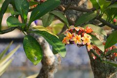το λουλούδι plumeria κίτρινο ή η έρημος αυξήθηκε όμορφος στο δέντρο (Commo Στοκ Εικόνες