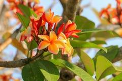 το λουλούδι plumeria κίτρινο ή η έρημος αυξήθηκε όμορφος στο δέντρο (Commo Στοκ φωτογραφία με δικαίωμα ελεύθερης χρήσης