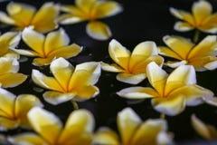 Το λουλούδι Plumeria στο νερό για τη SPA και χαλαρώνει Στοκ Εικόνα
