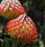 Το λουλούδι Protea βασιλιάδων με το μαύρο πράσινο υπόβαθρο bokeh, κλείνει επάνω την άποψη στοκ εικόνα