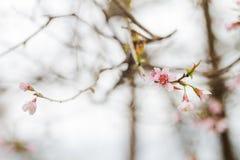 Το λουλούδι Prunus cerasoides πριν από αποβαλλόμενο είναι πότε ο χειμερινός καιρός τελείωσε με τα ξύλα στο υπόβαθρο Στοκ φωτογραφία με δικαίωμα ελεύθερης χρήσης