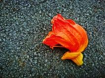Το λουλούδι variegata Erythrina είναι πορτοκαλί χρώμα Στοκ φωτογραφίες με δικαίωμα ελεύθερης χρήσης