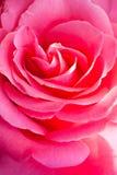 το λουλούδι ρόδινο αυξή&th Στοκ φωτογραφία με δικαίωμα ελεύθερης χρήσης