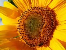 Το Λ ` amour des abeilles χύνει les τη ιστορία αγάπης tournesols/μεταξύ μιας μέλισσας και ενός ηλίανθου στοκ φωτογραφία
