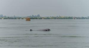 Το Μάρτιο του 2015 της Καμπότζης γλυκού νερού δελφινιών (επαρχία Kratie) στοκ εικόνα